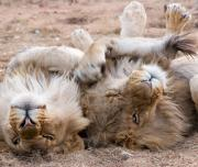 Lions laying in Bush