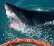 Close View Great White Shark