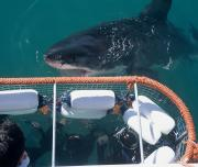 Cage And Great White Shark