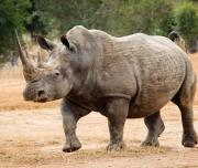 Rhinoceros in the Reserve