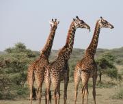 Giraffe Standing in private game reserve
