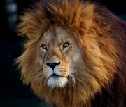 Close view of a Lion