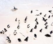 Jackass penguins beach
