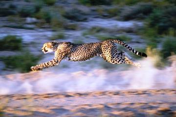 Cheetah two days Safari